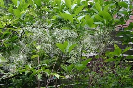 Fringe Tree - Chinonanthus Virginicus