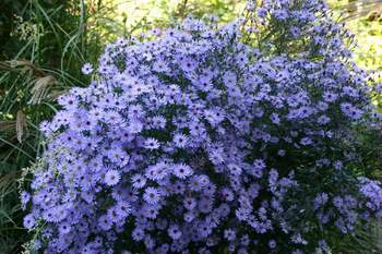 Aster ?Little Carlow?