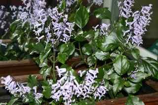 plectranthus-mona-lavender.jpg