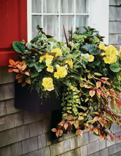 Buttery yellow begonias highlight an overflowing window box.