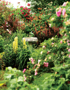 A bird bath nestles amid a tumble of lemony lupines, dark and light pink roses, ?Rose Glow? barberries and sweetly scented honeysuckle.