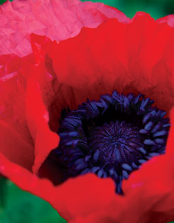 The stunning ?Beauty of Livermore? poppy