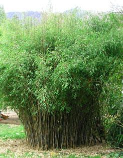Fargesia nitida Fountain Bamboo