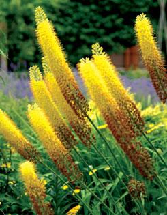 foxtail lilies (Eremerus stenophyllus)