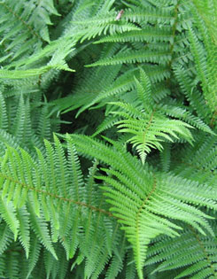 Timeless ferns