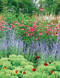 Mass plantings of green sedum (dotted with upright prairie  coneflowers), Russian sage, purple coneflowers, globe  thistles and Culver?s root typify Deacon?s colour-block  approach
