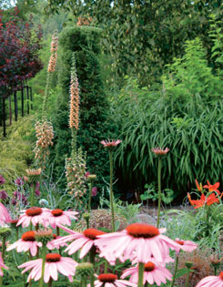 purpleleaf sand cherries are underplanted with golden Japanese forest grass; this in  turn sets off flame-shaped drumstick alliums while showy  purple coneflowers dance before tall rusty foxgloves and scarlet lilies.