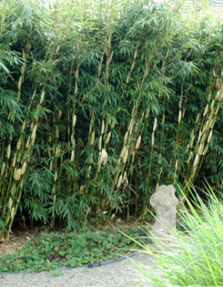 Bamboo. Photo courtesy Vineland Nursery