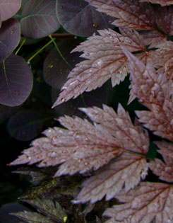 ?Hillside Black Beauty? bugbane pairs with ?Royal Purple? smokebush