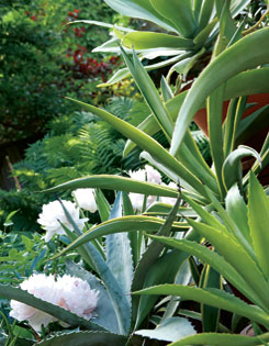 Potted agaves includinfluffy white peonies
