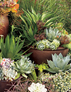 Who needs flowers with this rich array of succulents such as  rosy Kalanchoe thyrsiflora (top left), spiny green and silver  agaves, echeverias (lower left), pale Aeonium (in the  foreground), rope-like Rhipsalis and variegated Sedum sieboldii.
