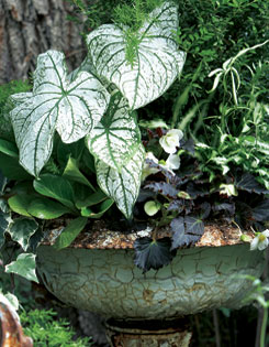 ?White Wings? caladium shines with ferns (Pteris) and dark begonia.
