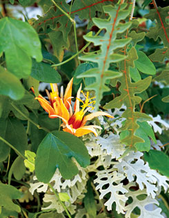 Exotic orange passion flower and dusty miller.