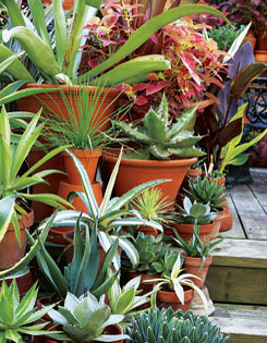 Splendid agaves including ?Octopus? and ?Victoria Regina?.