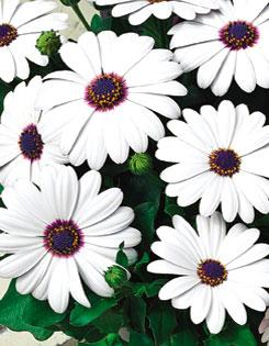 Osteospernum 'Asti White' (Osteospernum)