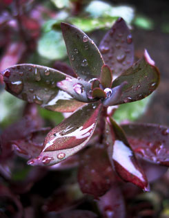 ?Purple Emperor? sedum has fleshy leaves and pink flowers