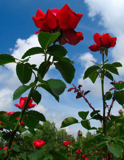 Red roses on a bright blue sky