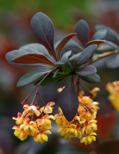 Flowers of ?Royal Cloak? barberry