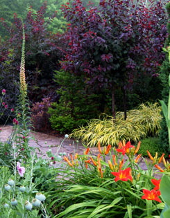 Purple leaf sand cherry standards are underplanted with golden Japanese forest grass