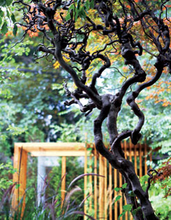 A corkscrew hazel?s twisted form makes a dramatic silhouette