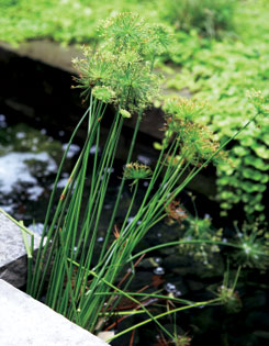 A clump of tufted dwarf papyrus sprouts from a corner of the pond