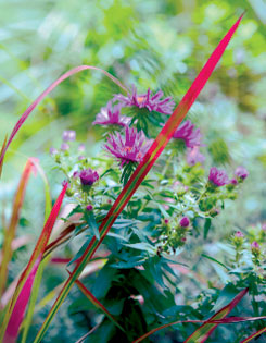 The vivid blades of Japanese blood grass intermingle with a purple-pink aster