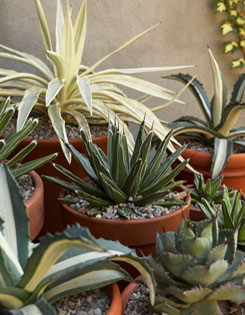 An array of agaves including Agave angustifolia (top) and A. victoriae-reginae (centre)