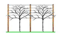 Tree pleaching diagram