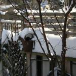 Acer griseum, paperbark maple