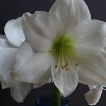 amaryllis-intokazi