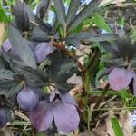 purple-hellebore