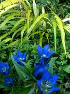 Gentian scarbra 'True Blue + Hak