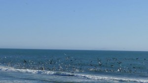 Pelicans dive bombing