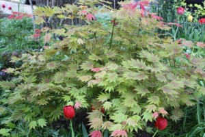 acer moonrising