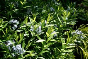Amsonia tabernaemontana 'Montana'Willow Blue Star